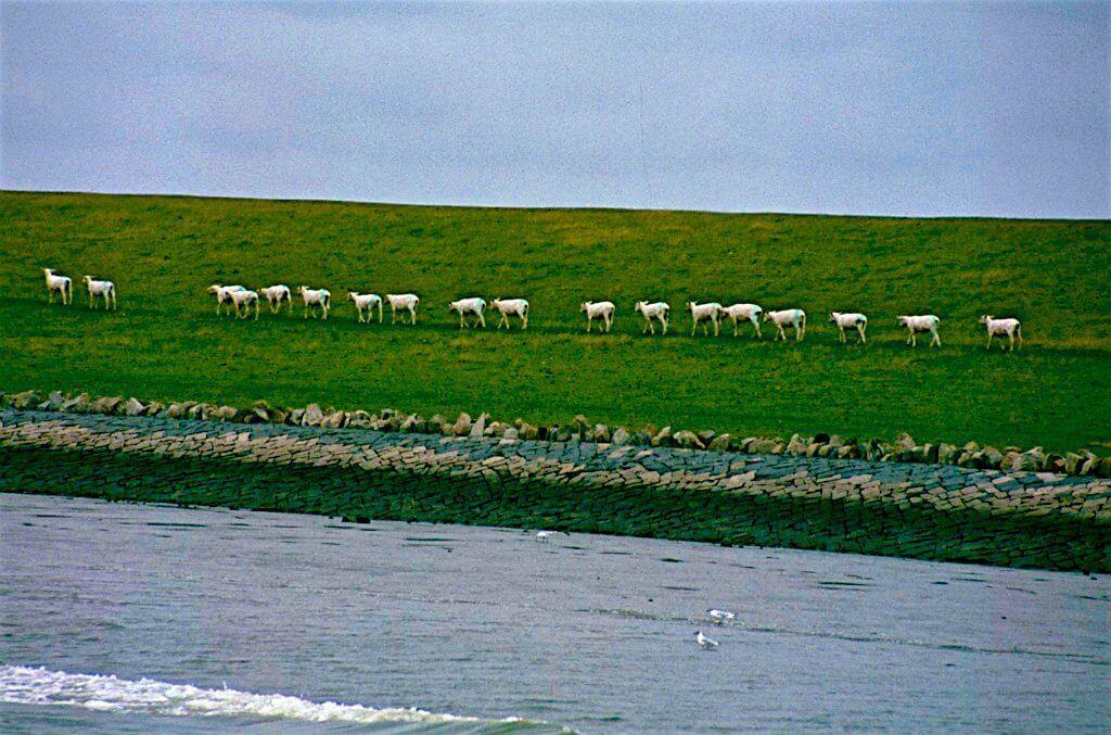 Schafe in Reihe